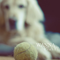 Wanna play? (tg | photographer) Tags: dog cane goldenretriever ball golden play retriever tennis camilla gioco palla muso wannaplay