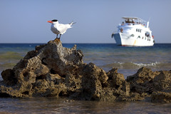 of sea, wind and freedom (Maine Surfer) Tags: blue red sea vacation sky sun white bird beach canon freedom lava boat wings rocks wind yacht seagull flight egypt sharmelsheikh el 5d sheikh hurgada shar    egypet
