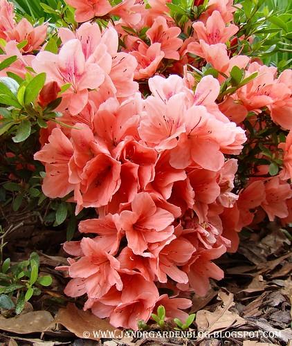 Pink Cascade2