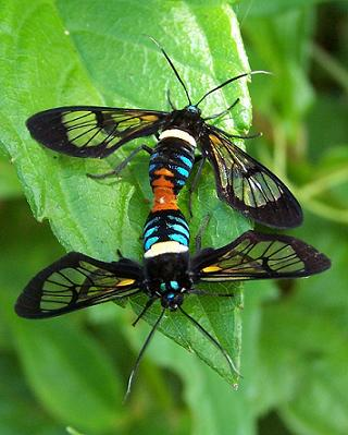 Mating clear winged moths