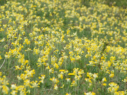 Cowslips (3)