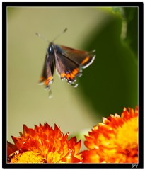 Packet of Power (motion blur) (Yogendra174) Tags: flowers orange india motion color macro green canon butterfly insect flying inflight bokeh butterflies sigma 300mm motionblur liftoff delicate takeoff sigmalens canonrebelxs sigmaapodgmacro70300 canon1000d