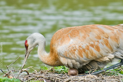 Sandhill Crane with eggs