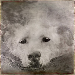 Swimming There (dr.Ozda) Tags: alaska swimming sandy fairbanks sleddog waterdog beingthere thelittledoglaughed lovestoswim drozda labrusky textureglassnegativebypaulgrand