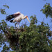 Yellow billed stork on the nest
