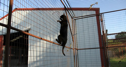 Melanistic f4 savannah cat climbing fencing