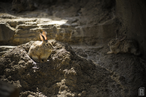 Jack Rabbit Sundown Coverkiller Tags Animal Zoo Nikon Omaha D3