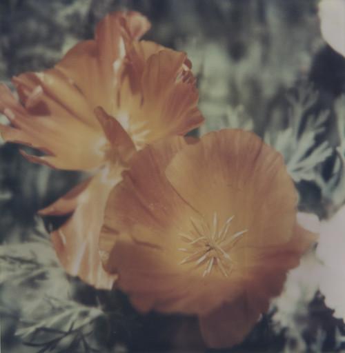 F2B Poppies.