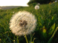 Blowball (guenther_haas) Tags: plant flower green clock nature ball sony seed cybershot dandelion ulm dscf828 blowall