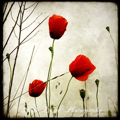 Three Poppies (Marc Loret) Tags: red summer france flower macro art nature photography photo juin spring heart top contemporary poppy poppies lovely printemps coquelicot contemporain marcloret ml2013rennes