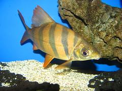 Distochodus (SYMBIOTICS) Tags: fish water aquarium fishtank freshwater aquariums southamerican