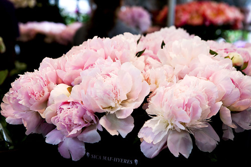 Fluffy, pink peonies