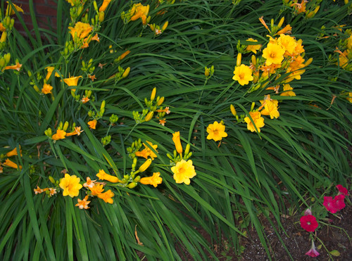 Unknown Yellow-flowered Cultivar, a Plant Bed Centerpiece