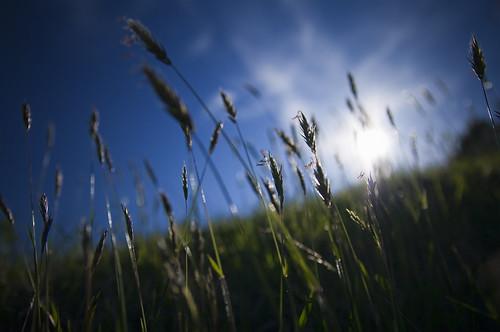 [フリー画像] 花・植物, イネ科, 草原, オーチャードグラス・カモガヤ, 201006080100