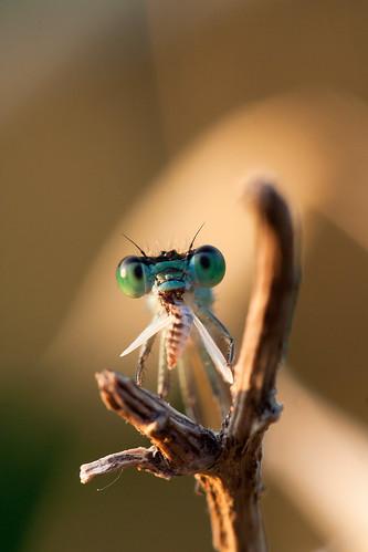 [フリー画像] 動物, 昆虫, トンボ, イトトンボ, 201006080500