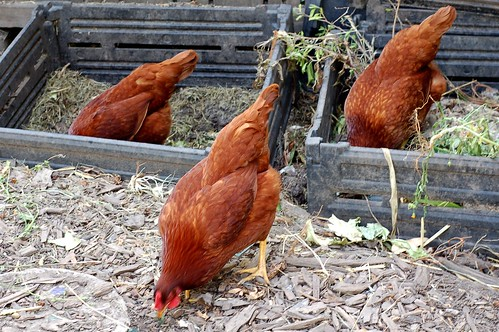 Attention! Tails UP! Rhode Island Reds eating from the compost bins by Eve Fox, Garden of Eating blog