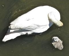 Swan and cygnet (anthonyfalla) Tags: bird swan cygnet waterfowl thamesriver kingstonuponthames