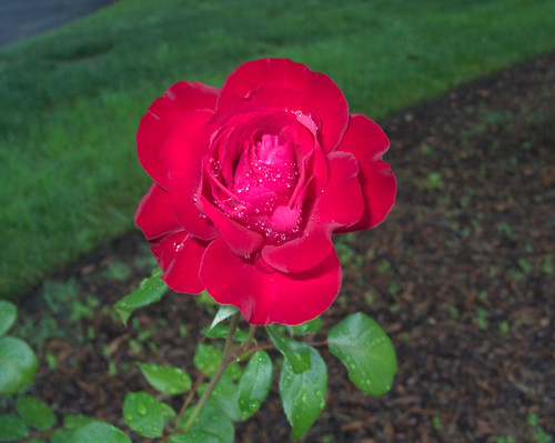 Red Rose. Top View