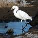 Muddy Egret
