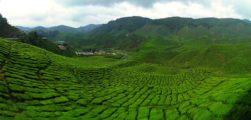 Tropical Tea Plantation