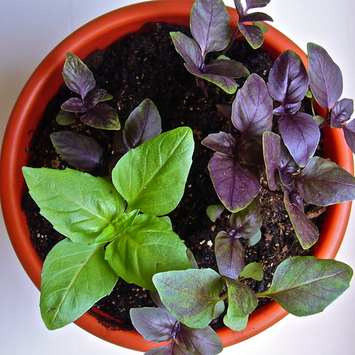 genetics of basil leaf color
