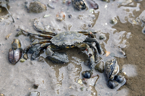 Common shore crab (Carcinus maenas)