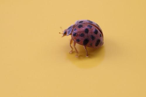 てんとう虫もどき