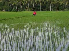 Indonesia-Bali / Seorang Pria di Sawah