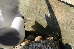 The changeover (JDPhotography -) Tags: seagulls swansea canon gulls breeding eggs mumbles nesting kittiwakes johndavies mumblespier eos400d june2010 sigma150500 thewonderfulworldofbirds