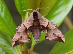 Hawk Moth (Hammerhead27) Tags: hawk moth eyed