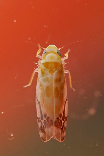 Leafhopper (Typhlocyba quercus)