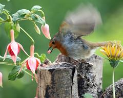 Hit & run food raid! (Mukumbura) Tags: wood flowers england flower tree bird nature robin birds garden outdoors feeding erithacusrubecula wildlife fuchsia somerset chick stump gazania suet fledgling hitrun pellet smashgrab