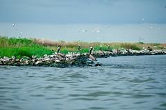 Brown Pelican Hangout (Kris Krug) Tags: ted gulfofmexico slick gulf pollution oil environment bp spill oilslick oilspill gulfcoast britishpetroleum tedx oilspew oilspillbp tedxoilspill birdpe