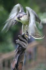 "Falconry (Rosemarie.s.w) Tags: motion blur bird nature wings movement beak feathers falcon nophotoshop untouched soe 2010 peregrine unedited unprocessed peregrinefalcon falconary straightoutofthecamera sooc goldstaraward ""flickraward"" qualitygold"