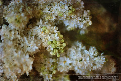 Lilacs (weekitchen) Tags: flowers white green spring lilacs whitelilacs