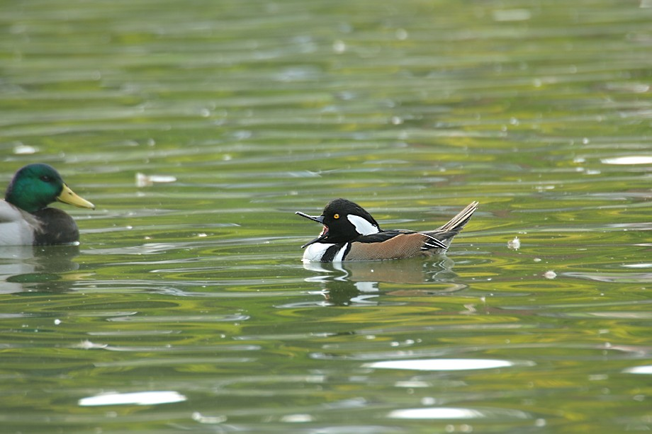 Hooded Merganser 102910