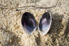 IMG_9950_1 (KarenGuy) Tags: newzealand shells beach nature sand purple mussels forests abeltasmannationalpark