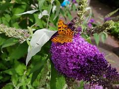 Does anyone know (mekare_nl) Tags: gehakkelde aurelia butterfly vlinder nederland