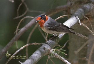 _45A2062 Red-faced Warbler ©Dancing Snake Nature Photography