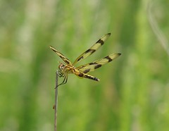 Halloween Pennant (mcnod) Tags: mcnod dragonfly halloweenpennant troyhill elkridge june 2017