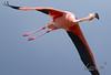 American Flamingo (sigolsen1) Tags: bokeh birding wildlife canon500mmf4is birds everglades canon7d bigyear outdoors depthoffield flamingo snake bight trail canoeing paddling