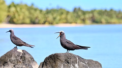 'Go away!' (geemuses) Tags: aitutaki cookislands southpacific pacificislands water sea ocean lagoon scenic scenery nature landscape trees palms rocks sand blue green standuppaddleboard bird birds flight brownnoddy ornithology birdwatching wildlife landing land fly