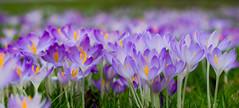 Hamburger Frühling (olmidi) Tags: hamburg frühling frühblüher krokus schneeglöckchen krokusse märzbecher blumen blümchen hübsch flowers lila
