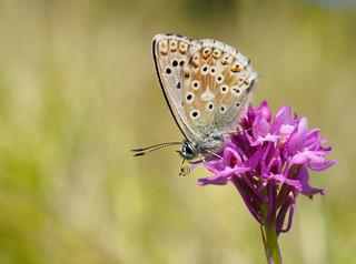 Chalkhill Blue. polyommatus coridon.