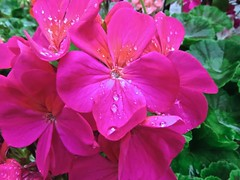 3100 Red Geranium and rain drops. (Andy - Busyyyyyyyyy) Tags: ddd droplets fff flowers geranium ggg plants ppp raindrops red rrr