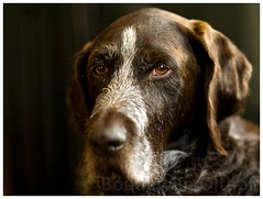 German Wirehaired Pointer (bo foto) Tags: germanwirehairedpointer germanpointer pointer dog dogs portait dogphotography workingdog hunting draadhaar duitsestaandehond drahthaar littledoglaughedstories