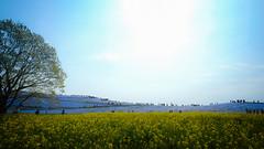 Blue n Yellow Field【Explore】 (chikuma_riv) Tags: japan nature landscape river lake mountain forest flower sunset sunrise spring summer autumn winter leaves