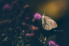 cabbage white (The Gaggle Photography | Jessica Nelson) Tags: butterfly insects macro macroflowers macroflower nature