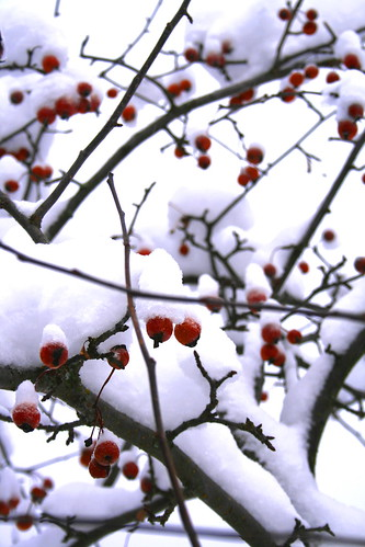 Snow and berries 2