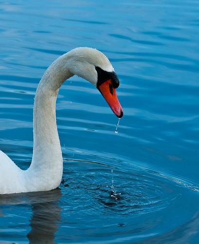 Stanley Park Swan
